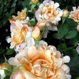 Розы Раффлс Флорибунда
